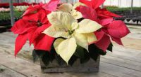 "Burnaby South's Access Program is having their Annual Winter Poinsettia Fundraiser. Our high quality poinsettias are $12.00 and come in red, pink, and white.  They are approximately 6.5"" with a […]"