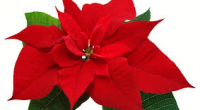 "Burnaby South's Access Program is having their annual winter Poinsettia Fundraiser. Our high quality poinsettias are $13.00 and come in red, pink, and white.  They are approximately 6.5"" with a […]"